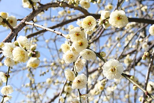 梅の白いの.jpg