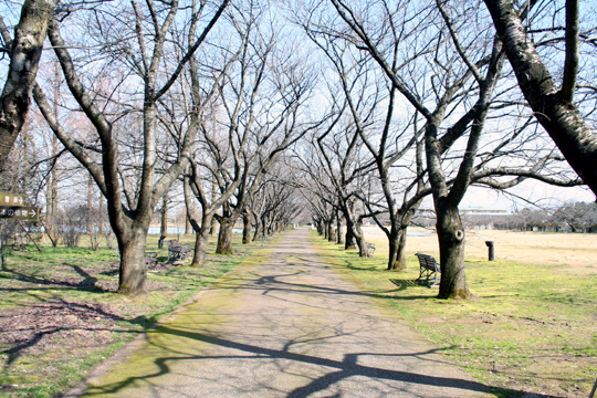 花の咲いていない桜並木.jpg